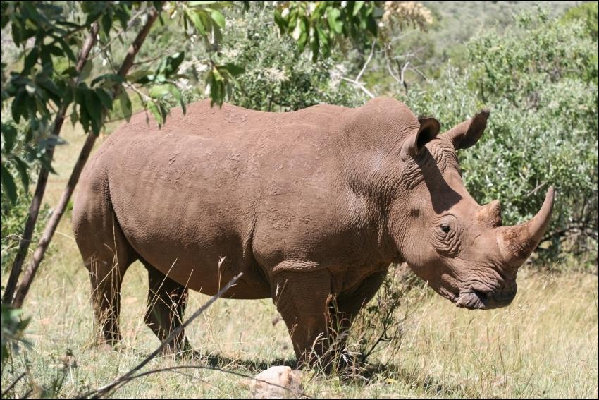 Le rhinocéros blanc et le rhinocéros noir ont-ils tous les deux 2 cornes ?