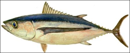 Quel poisson est aussi appelé thon blanc ?