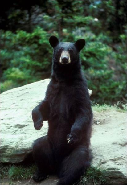 Comment s'appelle l'ours noir d'Amérique du Nord ?
