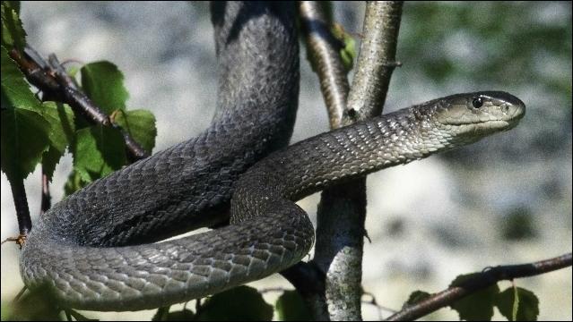 Sur quel continent vit le mamba noir qui est le serpent terrestre le plus rapide qui existe ?