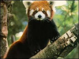 Combien de doigts a le panda roux ?