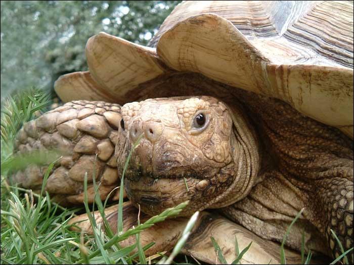 La tortue de savane se fait de plus en plus rare. L'augmentation des populations humaines et l'avancée du désert sont les principales causes de sa raréfaction. Où se trouve son habitat ?
