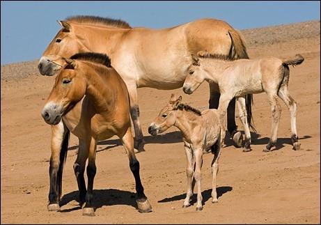Le dernier cheval sauvage est le cheval de :
