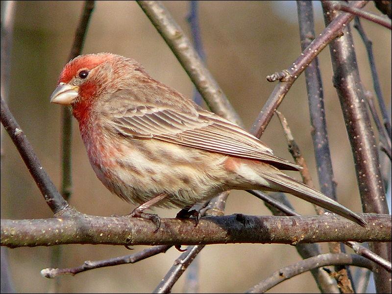 Ses vocalisations sont des cris d'appel courts : tchip-tchip-kwet-kwet ou de longs chants modulés... ziiiiiiii, pour charmer sa femelle dont il ne se sépare pas, il est monogame.