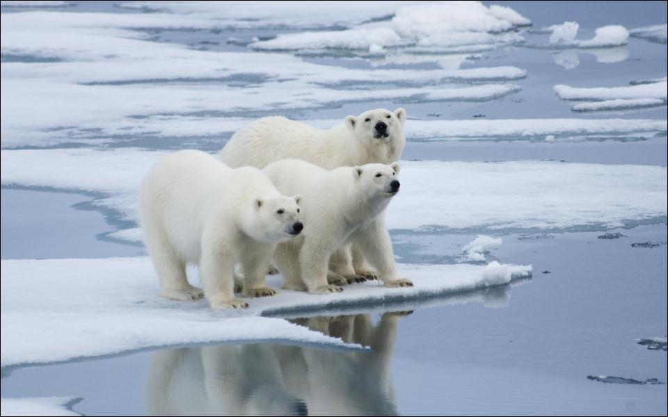 Combien d'ours blancs reste-t-il sur terre ?