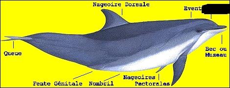 Au-dessus de la mâchoire supérieure du dauphin se trouve une bosse frontale. Comment appelle-t-on cette masse graisseuse ?