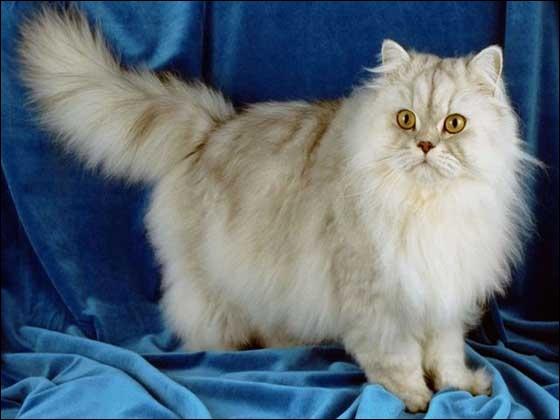Quelle est cette race de chats ?