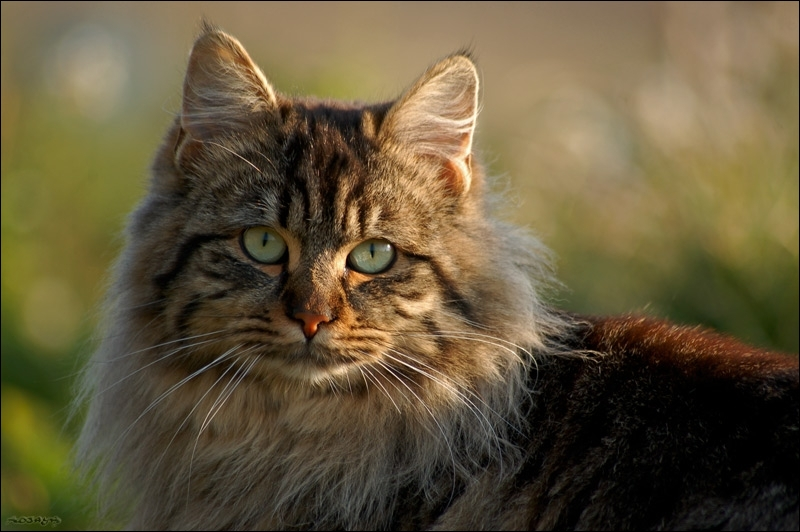 Le champ de vision des chats est plus étendu que celui des humains :