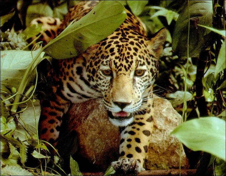 Le jaguar ne peut pas se déplacer de cette façon, mais la girafe peut le courir et le cheval peut le marcher, l'...