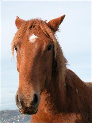 Quand le cheval a les oreilles couchées en arrière et les naseaux pincés, le cavalier a toutes les raisons d'être :