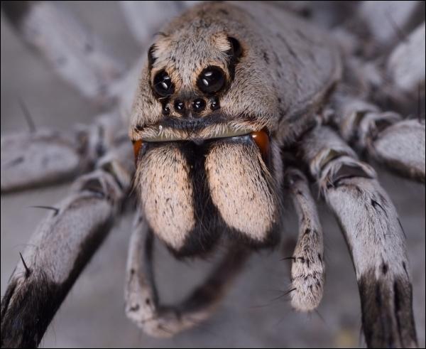 Les chélicères d'une araignée ont la particularité de l'être !