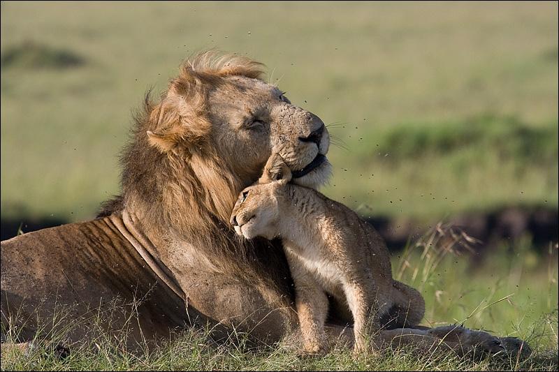 Papa lion peut être très affectueux (quand il s'agit de son propre lionceau), mais ne vous approchez pas, vous risqueriez l' ...