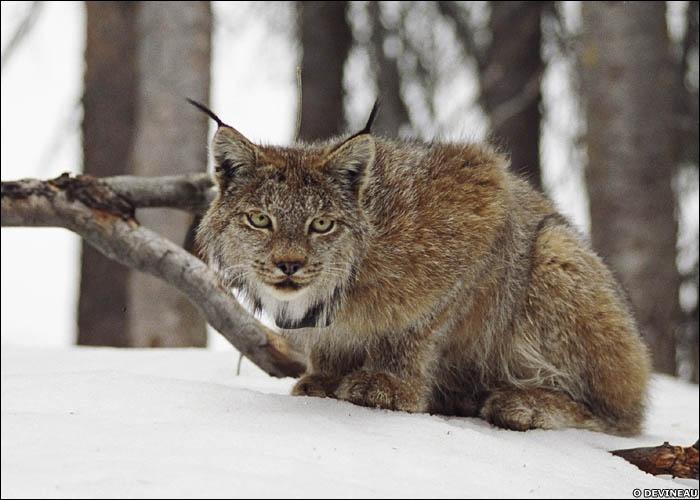 Une expression populaire nous parle d'un  oeil de lynx , mais contrairement à ce que pensent beaucoup d'entre nous, elle ne concerne pas l'animal, tout en concernant l'...