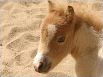 Sous quel climat le cheval arabe vit-il mieux ?