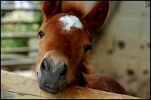Existe-t-il une très grande variété de types de chevaux arabes ?