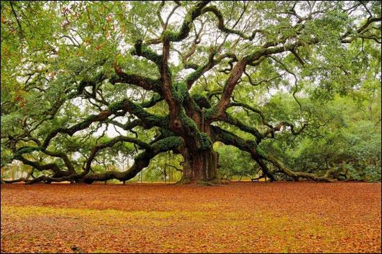 Venez visiter Charleston, vous pourrez y admirer le chêne  Angel Oak , âgé de plus de 1500 ans, En Caroline du Sud !