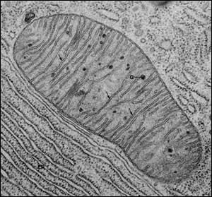 Quelles sont les trois principales régions des cellules animales ?