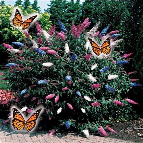 Quel est le nom de cet arbre appelé aussi  Arbre à papillons ?