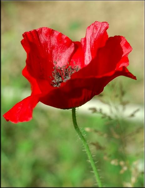 Les propriétés calmantes de cette plante lui valent d'être souvent utilisée dans des sirops aidant à calmer la toux.