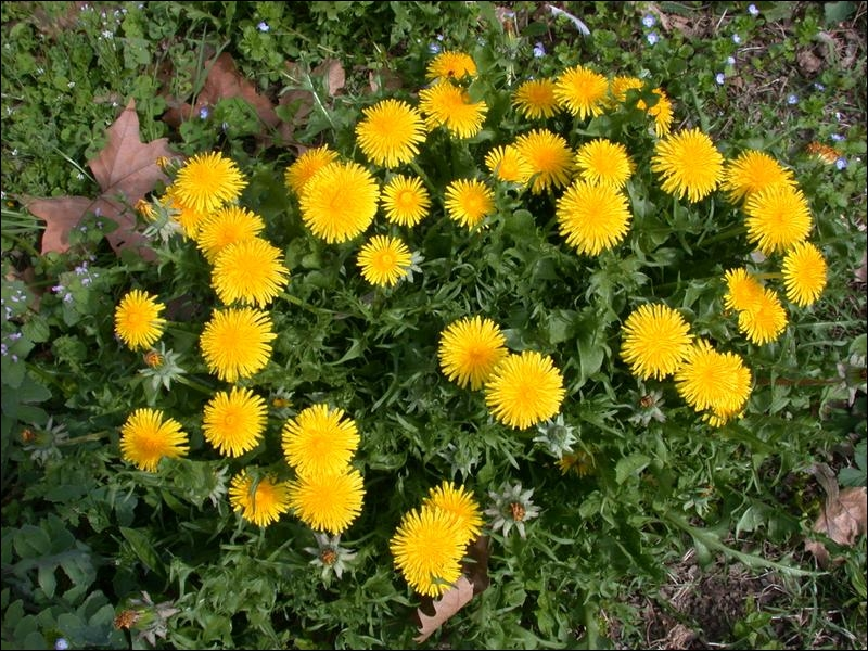 Comment se nomme cette plante qui stimule la vésicule biliaire ?