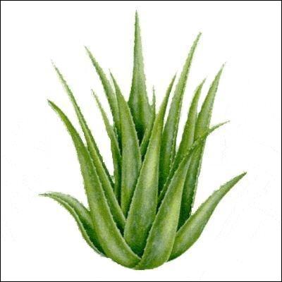 Quelle est cette plante à partir de laquelle on fabrique des crèmes aux propriétés calmantes et cicatrisantes ?