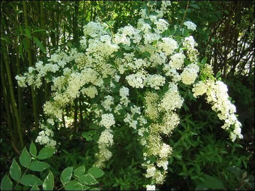 Quizz fleurs en blanc quiz orthographe vocabulaire definitions - Arbuste fleurs blanches odorantes ...