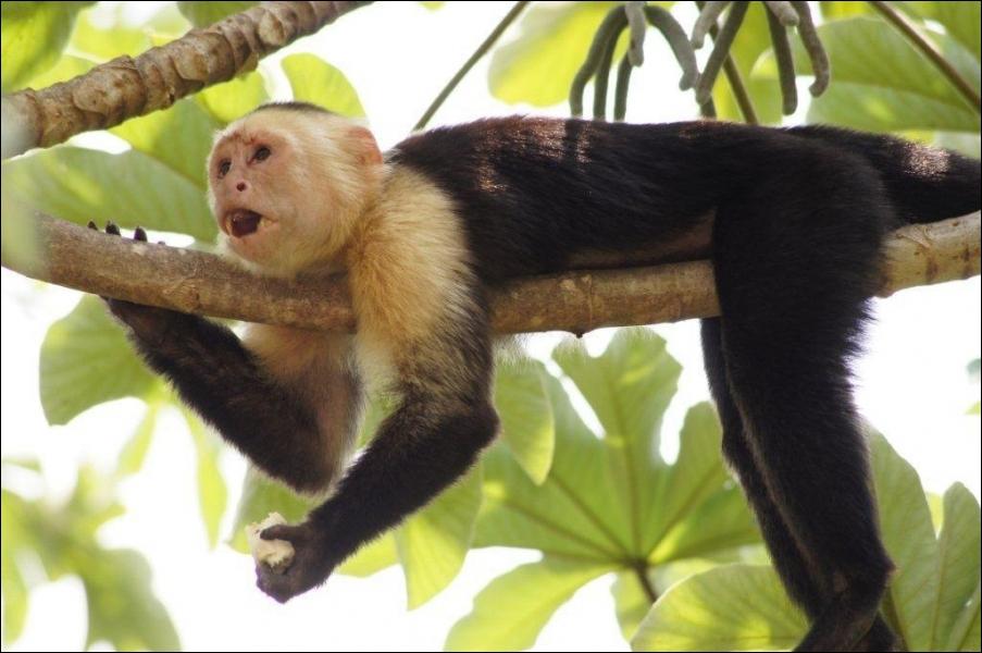 Quel autre nom donne-t-on au singe capucin ?