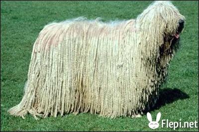 Ce chien est un Komondor, il est originaire de :