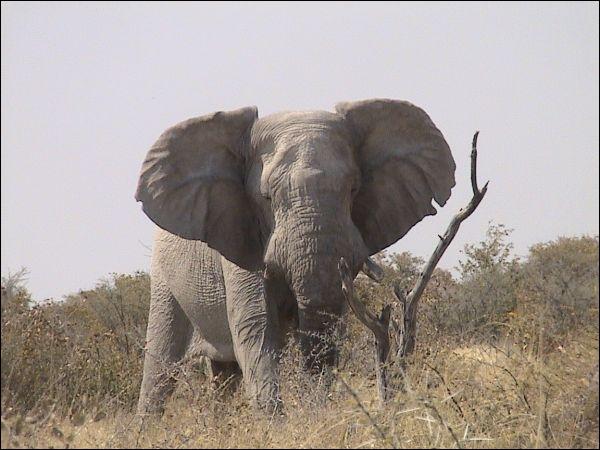 Quelle grande menace pèse au Tchad sur les éléphants et pourrait faire disparaître à brève échéance tous les éléphants d'Afrique.