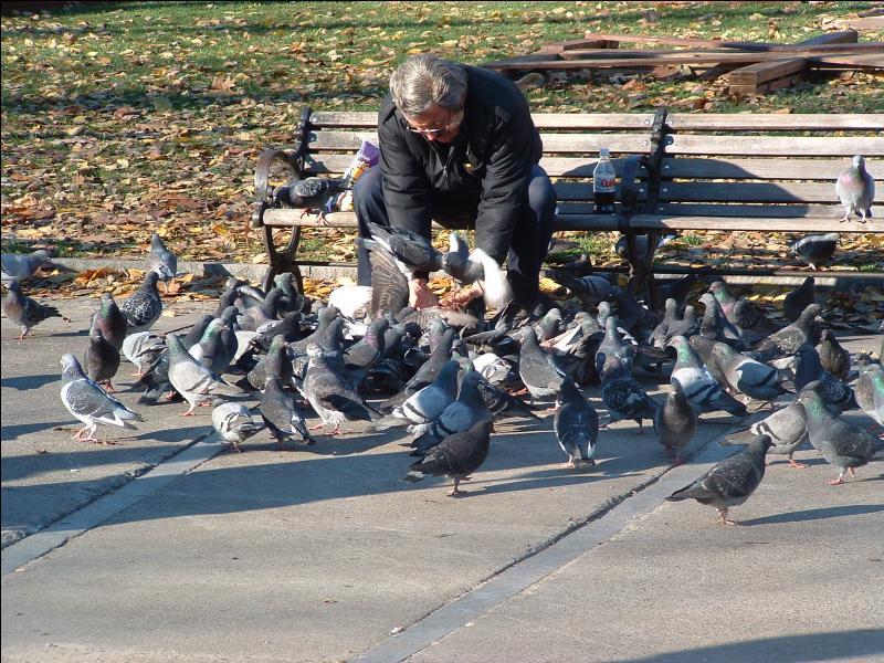 Les pigeons nourrissent leurs petits avec des insectes.