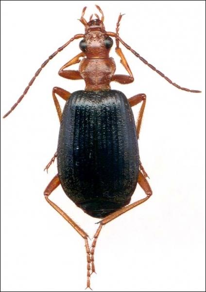 Le bombardier est un scarabée.