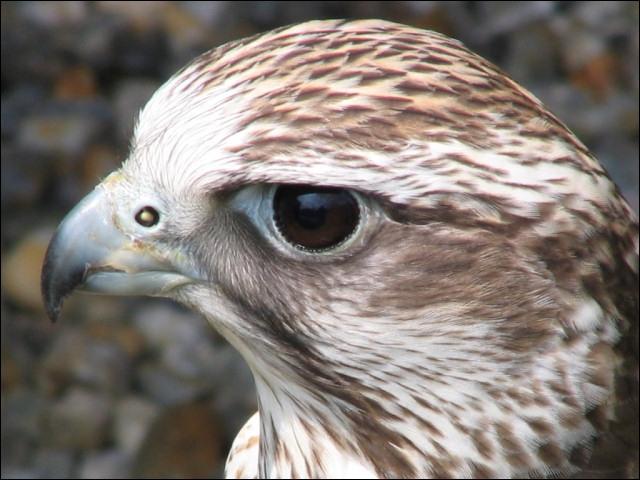 Le faucon pèlerin est l'oiseau le plus rapide du monde.