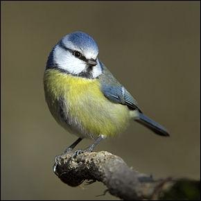 Les mésanges bleues parfument leur nid.