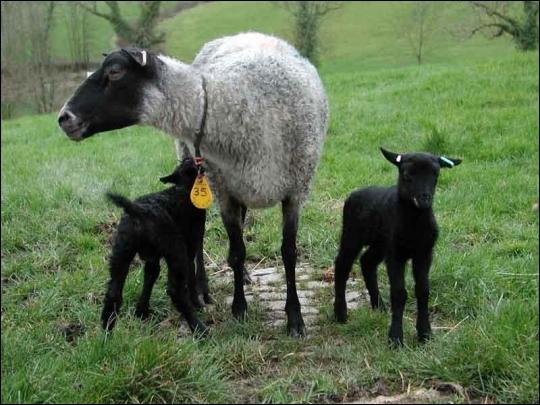 Vous pensez qu'on abat l'agneau karacul pour la viande ? Détrompez-vous, c'est juste pour l'...