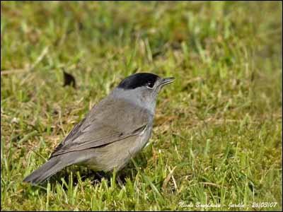 Quizz les oiseaux de nos jardins quiz jardins oiseaux for Oiseau marron
