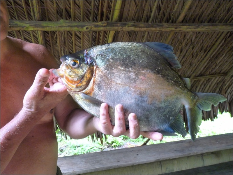 Poisson d'eau douce très prisé en Guyane !