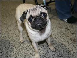 Petit chien à poil ras et au museau aplati.