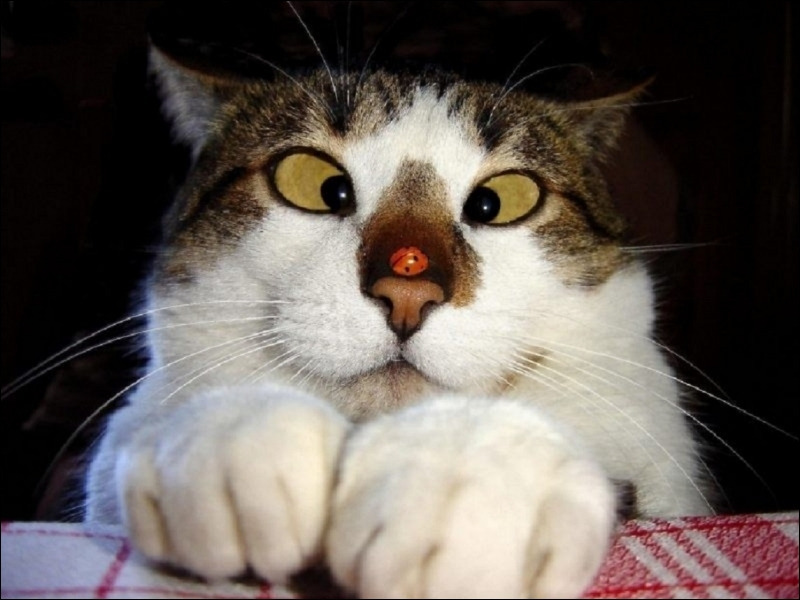 Les chats ont-ils une troisième paupière (translucide) en plus des paupières inférieure et supérieure ?