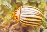 Connaissez-vous cet insecte ?