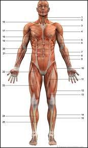 Le mot  couturier  est l'ancienne appellation d'un de nos muscles. Dans quelle partie du corps le trouve-t-on ?