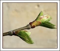 Des laboratoires de phytothérapie ont prouvé scientifiquement que le bourgeon de châtaigner était indiqué dans ...