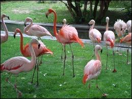 Certains flamants roses sont des oiseaux migrateurs.