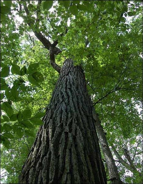 Comment se traduit le  tronc  d'un arbre en anglais ?