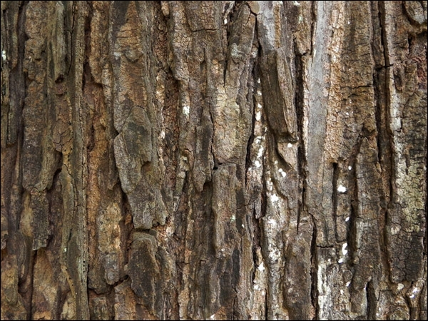 Comment se traduit  l'écorce  de l'arbre en anglais ?