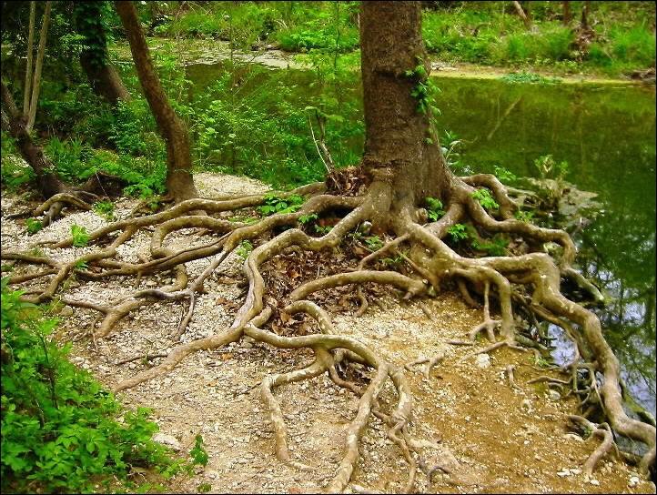 Comment se traduisent  les racines  de l'arbre en anglais ?