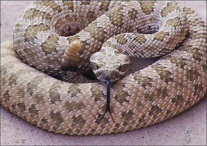 Comment se traduit le  crotale , également appelé serpent à sonnette en anglais ?