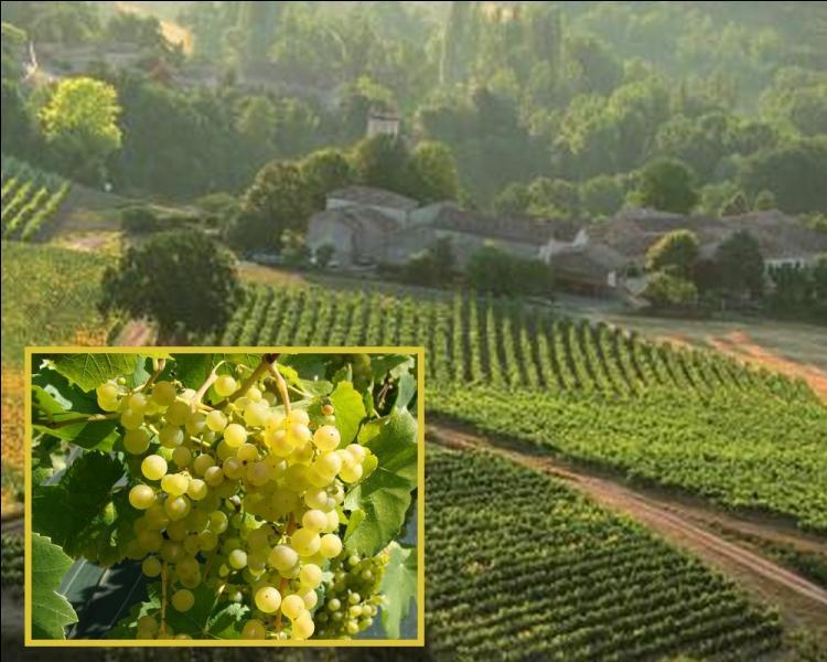 Quelle commune du Bas Quercy produit un excellent raisin de table : le chasselas ?