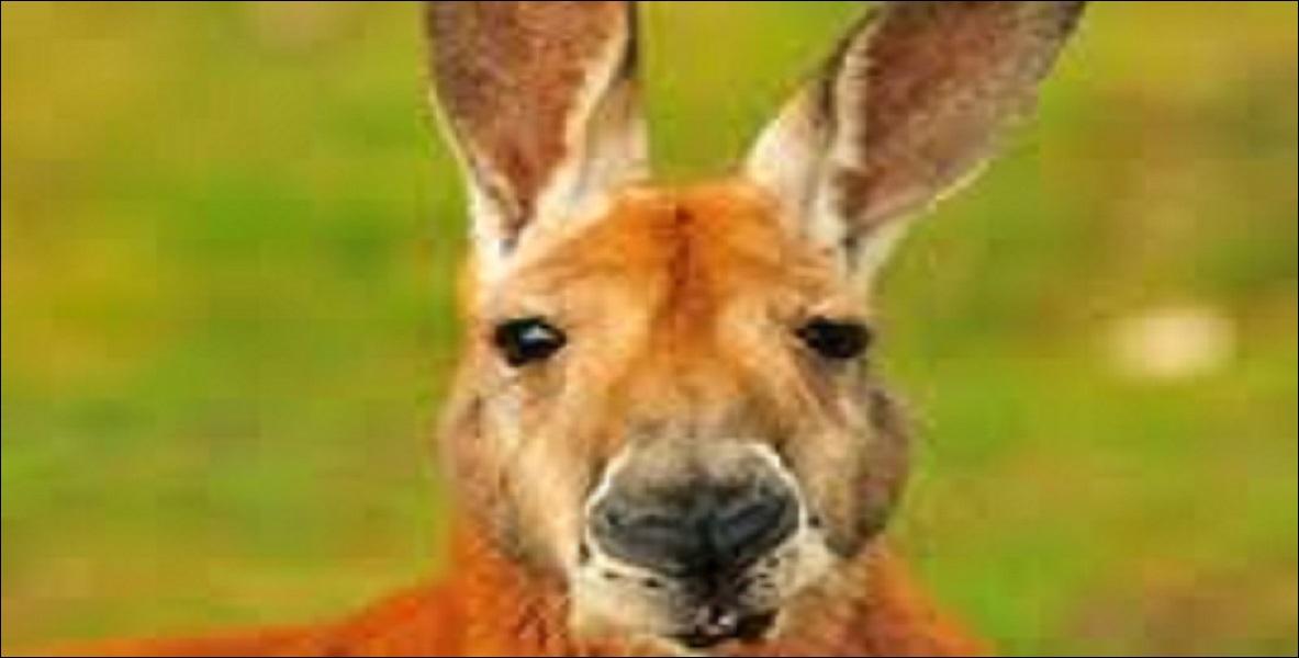 Comment dit-on «kangourou» en anglais ?