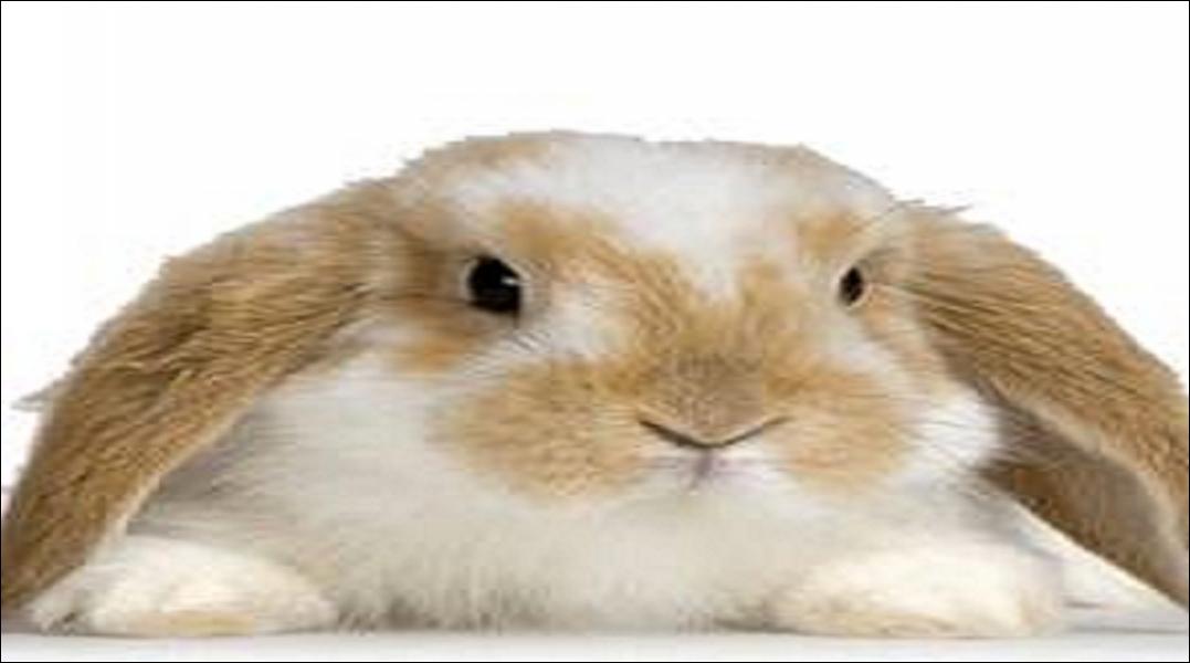 Comment exprime-t-on le mot «lapin» en anglais ?