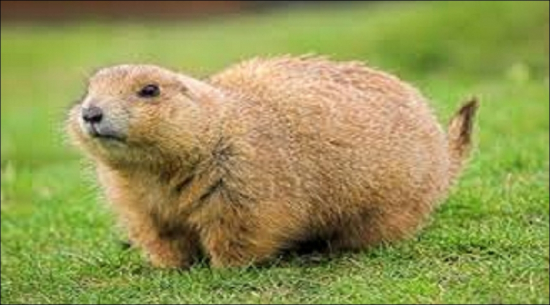 Quel est le mot anglais pour «marmotte» ?